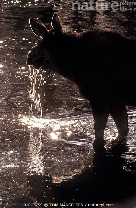 Moose drinking (Alces alces) Grand Teton NP, USA.  ,  USA,SILHOUETTES,MAMMALS,OUTSTANDING,ARTY SHOTS,DEER,NORTH AMERICA ,Rocky Mountains,  ,  TOM MANGELSEN