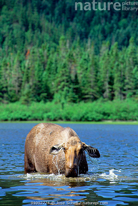 Female moose feeding in lake (Alces alces) Gaspe Park, Canada  ,  MAMMALS,VERTICAL,WATER,ARTIODACTYLA,DEER,LAKES,FEMALES  ,  Jose Schell