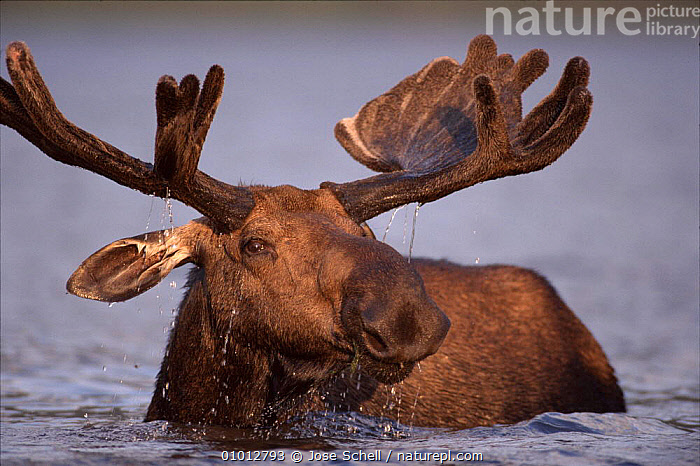 Bull moose feeding in lake (Alces alces) Gaspe Park, Canada, North America - older moose feed on plants in deeper water  ,  ANTLERS,ARTIODACTYLA,CANADA,DEER,FEEDING,JS,LAKES,MALES,MAMMALS,ONE,PORTRAIT,PORTRAITS,RESERVE,WATER,NORTH AMERICA  ,  Jose Schell