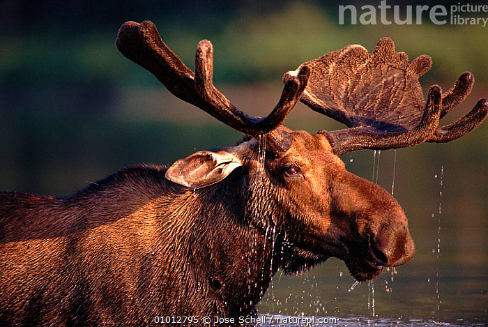 Bull moose (Alces alces) feeding in lake. Gaspe Park, Canada  ,  FEEDING,ARTIODACTYLA,CANADA,LAKES,HORIZONTAL,HEADS,MAMMALS,GASPE,BULL,PARK,PORTRAITS,MALES,PROFILES,ANTLERS,WATER,NORTH AMERICA  ,  Jose Schell