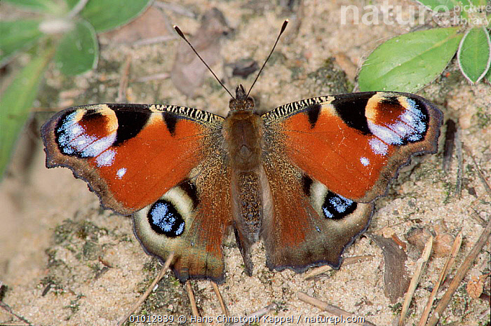 Peacock Butterfly, Germany  ,  HK,GERMANY,EUROPE,INSECTS,WINGS,HORIZONTAL,RED,SPOTS,INVERTEBRATES,LEPIDOPTERA  ,  Hans Christoph Kappel