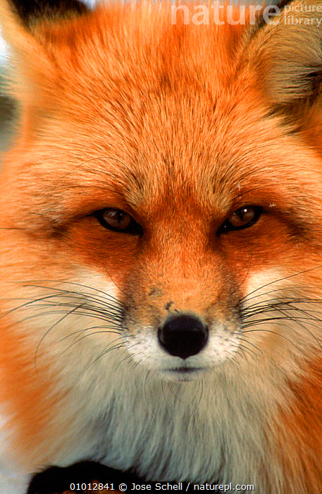 North American red fox (Vulpes vulpes) head portrait, Canada  ,  CANADA,CANIDS,CARNIVORES,CUB,DOGS,FACES,FOXES,FUR,JS,MAMMALS,NORTH AMERICA,PORTRAITS,PUBLICITY  ,  Jose Schell