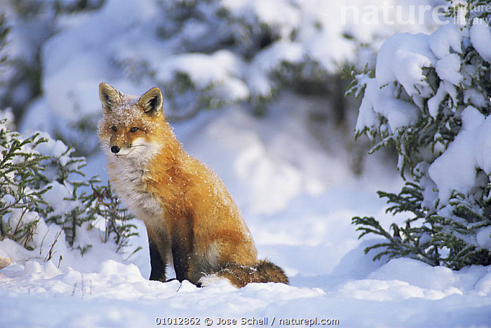 Red fox (Vulpes vulpes) in -20 Centigrade cold winter weather, Canada  ,  CANADA,CANIDS,CARNIVORES,COLD,FOXES,MAMMALS,north america,PORTRAITS,SITTING,SNOW,VERTEBRATES,WINTER,Dogs  ,  Jose Schell