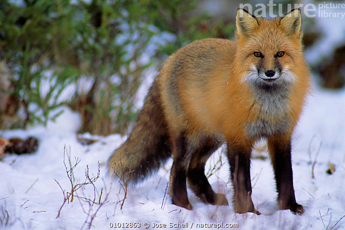 North American red fox (Vulpes vulpes) in snow, Anticosti Is. Canada.  ,  CANADA,FOXES,MAMMALS,IS,PORTRAITS,SNOW,North America,Dogs,Canids  ,  Jose Schell