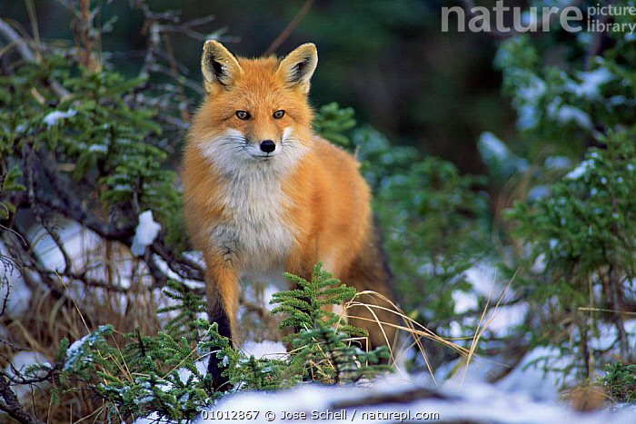 North American red fox in snow (Vulpes vulpes) Anticosti Is. Canada.  ,  PORTRAITS,IS,WINTER,MAMMALS,FOXES,CARNIVORES,CANADA,North America,Dogs,Canids  ,  Jose Schell