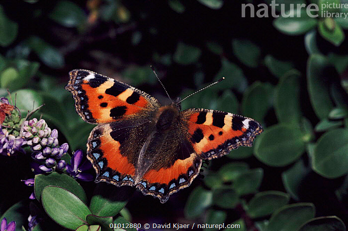 Small Tortoiseshell butterfly on Hebe plant in garden, England.  ,  GARDENS,PORTRAITS,DK,RED,EUROPE,HEBE,FLOWERS,UK,INSECTS,ENGLAND,WINGS,UNITED KINGDOM,INVERTEBRATES,BRITISH  ,  David Kjaer