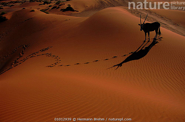 Oryx (Oyrx gazella) in the dunes. Namib Desert, Namibia, Southern Africa  ,  DUNES,NAMIB,DESERTS,SAND,DESERT,HOLIDAYS,LANDSCAPES,MAMMALS,SHADOWS,ARTIODACTYLA,ARTY SHOTS,OUTSTANDING,RED,DRAMATIC,SOUTHERN AFRICA,HORIZONTAL,PEACEFUL,NAMIBIA,TRACKS,CONCEPTS  ,  Hermann Brehm