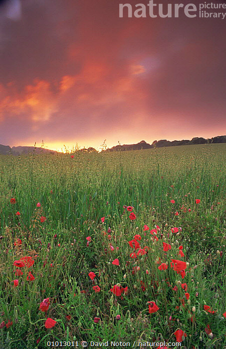 Field of Poppies (Papaver rhoeas) near Milton Abbas, England, with pink clouds at sunset  ,  ATMOSPHERIC,CLOUDS,DICOTYLEDONS,DRAMATIC,ENGLAND,FARMLAND,LANDSCAPES,PAPAVERACEAE,PINK,PLANTS,RED,SUMMER,SUNSET,VERTICAL,Europe,Weather  ,  David Noton