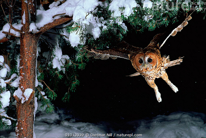 Tawny owl {Strix aluco} in flight. Germany  ,  DN,FLIGHT,GERMANY,NIGHT,ACTION,INTERESTING,,SNOW,OUTSTANDING,HORIZONTAL,OWLS,WINTER,DRAMATIC,FLYING ,BIRDS OF PREY,EUROPE,RAPTOR  ,  Dietmar Nill