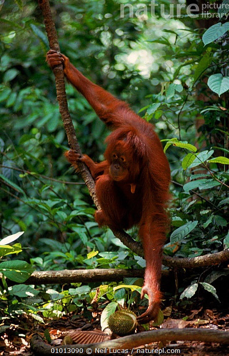 Female Orang Utan with Durian fruit, Sepilok, Borneo  ,  APES,SEPILOK,PRIMATES,SOUTH EAST ASIA,FRUIT,NL,FEMALES,TROPICAL RAINFOREST,BORNEO,DURIAN,GREAT,FEEDING,MAMMALS,VERTICAL,ASIA,PLANTS  ,  Neil Lucas