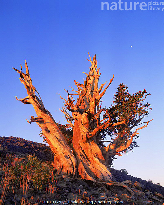 Great Basin / Intermount Bristlecone pine (Pinus longaeva) at moonset, Ancient Bristlecone Pine Forest, White Mountains, California, USA  ,  ANCIENT,BARK,DUSK,MOON,MOUNTAINS,NORTH AMERICA,OLD,TREES,USA,VERTICAL,Plants  ,  David Welling