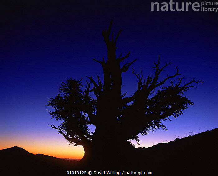 Silhouette of Great basin (Intermountain) Bristlecone pine (Pinus longaeva) at sunset, Ancient Bristlecone Pine Forest, White Mountains, California, USA  ,  ANCIENT,HIGHLANDS,MOUNTAINS,NORTH AMERICA,OLD,SILHOUETTES,SUNRISE,SUNSET,TREES,USA,Plants  ,  David Welling