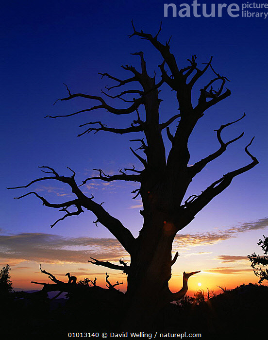 Silhouette of Great basin (Intermountain) Bristlecone pine (Pinus longaeva) at sunset, Ancient Bristlecone Pine Forest, White Mountains, California, USA  ,  ANCIENT,ATMOSPHERIC,DAWN,DUSK,HIGHLANDS,MOUNTAINS,NORTH AMERICA,OUTLINE,SILHOUETTES,SUNRISE,SUNSET,TREES,USA,VERTICAL,Plants  ,  David Welling
