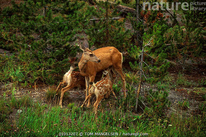 Mule Deer suckling young. (Odocoileus hemionus) Wyoming Yellowstone NP. USA.  ,  BABIES,ARTIODACTYLA,AFFECTIONATE,CUTE,FAMILIES,FEEDING,PARENTAL,OUTSTANDING,NP,LANDSCAPES,MAMMALS,USA,YOUNG,NORTH AMERICA,CONCEPTS,NATIONAL PARK  ,  TOM MANGELSEN