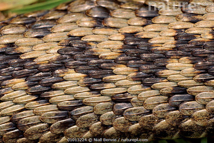 Close-up of adder snake skin scales  ,  ARTY SHOTS,CLOSE UP,SNAKES,SCALES,BACKGROUNDS,NB,HORIZONTAL,SKIN,REPTILES, ADDERS  ,  Niall Benvie
