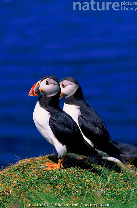 Puffins, Staffa Island, Scotland.  ,  EUROPE,UK,TWO,SEA,SEABIRDS,BIRDS,COASTS,VERTICAL,SCOTLAND,SK,UNITED KINGDOM,BRITISH,AUKS, Seabirds  ,  SIMON KING