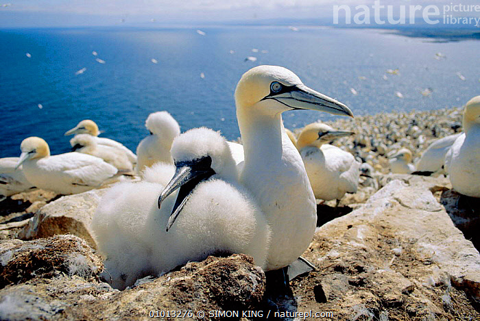 Gannet parent and chick (Morus bassanus) UK  ,  ATLANTIC, BIRDS, BOOBIES, CLIFFS, COASTS, EUROPE, FAMILIES, GANNETS, GEOLOGY, SEABIRDS, VERTEBRATES, WILDLIFE,Marine  ,  SIMON KING