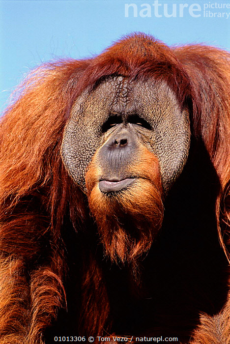 Orang-utan portrait  ,  VULNERABLE,USA,MAMMALS,CAPTIVE,TV,VERTICAL,FACES,PORTRAIT,PRIMATES,NORTH AMERICA  ,  Tom Vezo