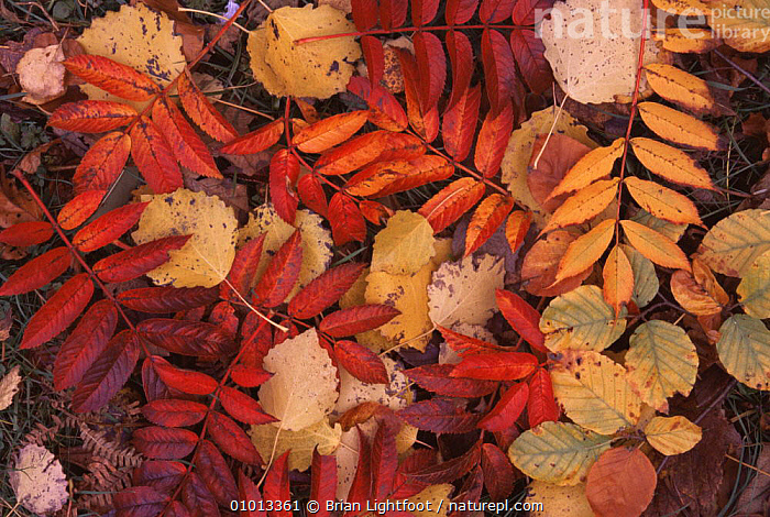 Mixture of fallen leaves in autumn colours, Scotland, UK  ,  ARTY SHOTS,AUTUMN,LEAVES,PATTERNS,SCOTLAND,Europe  ,  Brian Lightfoot