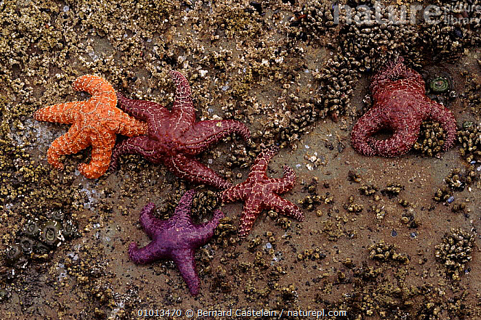 Seastars on the beach at low tide, Olympic NP, Washington, USA.  ,  BC,BEACH,BEACHES,CLOSE UPS,COLOURFUL,ECHINODERMS,INTERTIDAL,MARINE,NP,OCHRACEOUS,OLYMPIC,OUTSTANDING,PACIFIC,ROCKPOOL,STARFISH,TEMPERATE,USA,NORTH AMERICA,INVERTEBRATES,NATIONAL PARK  ,  Bernard Castelein
