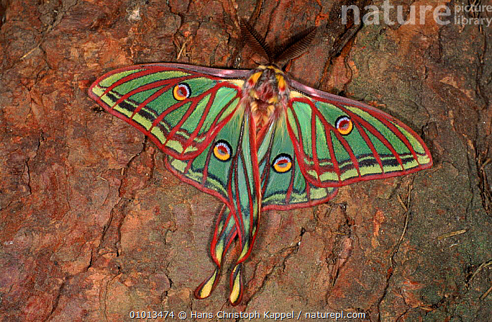 Spanish Moon moth resting on tree bark  ,  COLOURFUL, EMPEROR-MOTHS, EUROPE, LEPIDOPTERA, MOTHS, PORTRAITS, WINGS, HORIZONTAL, INSECTS, INVERTEBRATES  ,  Hans Christoph Kappel