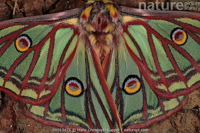 Spanish Moon moth wings close-up  ,  EMPEROR-MOTHS, HORIZONTAL, INSECTS, INVERTEBRATES, PORTRAITS, COLOURFUL, LEPIDOPTERA, MOTHS, SPOTS, WINGS  ,  Hans Christoph Kappel