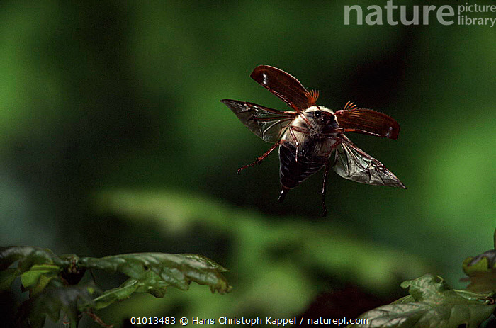 Common cockchafer (Maybug) in flight, Germany  ,  MAYBUG,FLYING,HK,INSECTS,OUTSTANDING,GERMANY,HORIZONTAL,BEETLES,WINGS,EUROPE,INVERTEBRATES,COLEOPTERA  ,  Hans Christoph Kappel