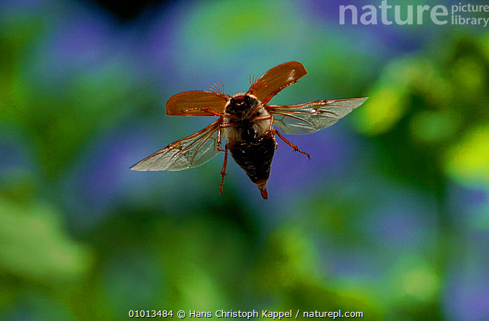 Common cockchafer (Maybug) in flight, Germany  ,  EUROPE,HORIZONTAL,INSECTS,BEETLES,MAYBUG,OUTSTANDING,WINGS,HK,FLYING,GERMANY,INVERTEBRATES,COLEOPTERA  ,  Hans Christoph Kappel