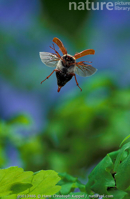 Common cockchafer / Maybug in flight (Melontha melontha) Germany  ,  ACTION,BEETLES,COLEOPTERA,EUROPE,FLYING,INSECTS,INVERTEBRATES,OUTSTANDING,WINGS,Catalogue1  ,  Hans Christoph Kappel