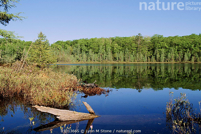Great Northern Diver (Common Loon) nesting habitat, USA  ,  WOODLANDS,HORIZONTAL,USA,,LOON,LS*,BIRDS,NESTING BEHAVIOUR,TREES,LANDSCAPES ,LAKES,NORTH AMERICA,PLANTS,REPRODUCTION,WATERFOWL  ,  Lynn M Stone