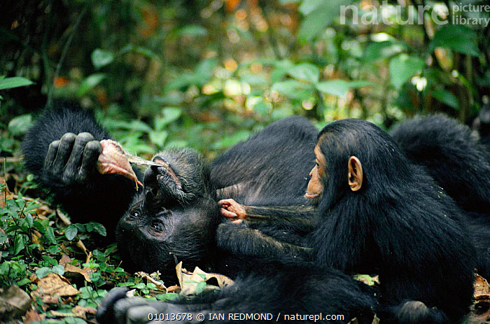 Year-old chimp begs for monkey meat from adult male. Tanzania Mahale Mountains {Pan troglodytes}  ,  AFRICA,AFRICAN,APES,BEGGING,BEHAVIOUR,CARNIVOROUS,CHIMP,EAST AFRICA,EATING,FAMILIES,FEEDING,FOREST,GREAT,GREAT APES,GROOMING,INTERESTING,IR,MALE,MALES,MAMMALS,MEAT,MOUNTAINS,PRIMATES,SOCIAL,TANZANIA,WILDLIFE  ,  IAN REDMOND