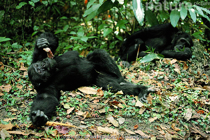 Male chimps relaxing - one eating monkey meat. Tanzania, Mahale Mountains {Pan troglodytes}  ,  AFRICA,AFRICAN,BEHAVIOUR,CARNIVOROUS,CHIMP,EAST AFRICA,FAMILIES,FEEDING,FOREST,INTERESTING,IR,MALE,MALES,MAMMALS,PRIMATES,RELAXING,SOCIAL,TANZANIA,WILDLIFE,WOODLANDS,GREAT APES  ,  IAN REDMOND