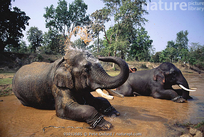 Indian Elephants (Elephas maximus) bath time. Bandhavgarh NP India.  ,  NP,HORIZONTAL,LIVESTOCK,RESERVE,RIVER,TRADITIONAL,BATH,PROBOSCIDS,WATER,INDIA,TIME,BANDHAVGARH,BATHING,CAPTIVE,MAMMALS,PO,TWO,GROOMING,NATIONAL PARK,ELEPHANTS  ,  Pete Oxford