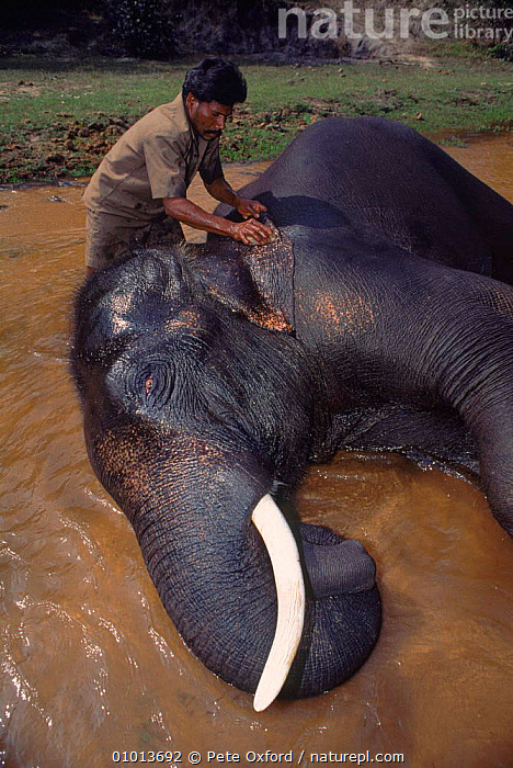 Indian Elephant (Elephas maximus) being washed, Bandhavgarh NP India.  ,  BANDHAVGARH,BATHING,ELEPHANTS,GROOMING,HORIZONTAL,INDIA,MAMMALS,NATIONAL PARK,NP,PEOPLE,PO  ,  Pete Oxford