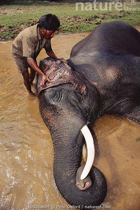 Indian Elephants bath time. (Elephas maximus) Bandhavgarh NP India.  ,  PEOPLE,TRADITIONAL,PO,GROOMING,BATHING,EARS,WATER,BATH,BANDHAVGARH,RESERVE,INDIA,MAMMALS,TIME,NP,RIVER,VERTICAL,LIVESTOCK,NATIONAL PARK,ELEPHANTS  ,  Pete Oxford