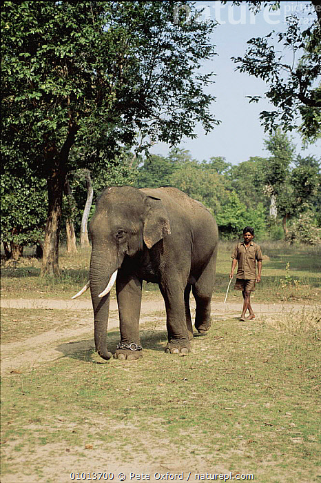 Worker Indian elephant with keeper. India  ,  MAMMALS,PROBOSCIDS,WORKING,PEOPLE,INDIAN SUBCONTINENT,TRADITIONAL,VERTICAL,DOMESTICATION,INDIA,ASIA,ELEPHANTS  ,  Pete Oxford