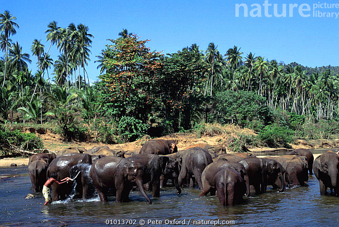 Indian elephants (Elephas maximus) being washed in river, Pinnawela Orphanage, Sri Lanka  ,  ANIMAL CARE,ASIAN,CLEANING,DOMESTICATED,ELEPHANTS,ENDANGERED,GROOMING,GROUPS,HERDS,INDIAN SUBCONTINENT,LANDSCAPES,MAMMALS,ORPHANED,PEOPLE,PROBOSCIDS,VERTEBRATES,WASHING,WATER,Asia  ,  Pete Oxford
