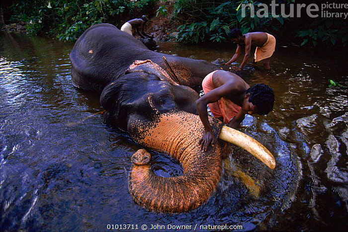 Indian Elephant {Elephas maximus} being washed by mahout Western Ghats, India. Lifesense  ,  GHATS,JD,LIFESENSE,WESTERN,HORIZONTAL,MAMMALS,INDIAN SUBCONTINENT,INDIA,MAHOUT,PEOPLE,BATHING,ASIA,ELEPHANTS  ,  John Downer