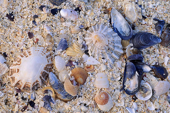 Constituents of shell sand. Outer Hebrides, Scotland.  ,  HORIZONTAL,SAND,SHELL,BACKGROUNDS,BEACHES,HEBRIDES,NB,CLOSE UPS,ABSTRACT,UK,SCOTLAND,ARTY SHOTS,PATTERNS,EUROPE,UNITED KINGDOM,BRITISH  ,  Niall Benvie