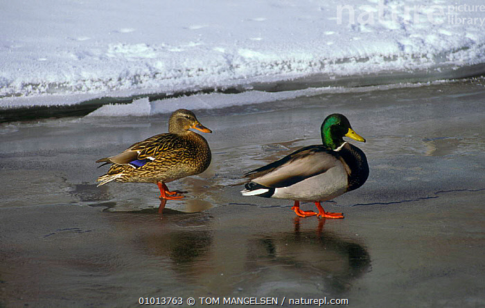 Mallard pair on frozen lake. (Anas platyrhynchos) National Elk Refuge, Wyoming, USA.  ,  WINTER,WATERFOWL,USA,SEXUAL MORPHISM,TIME,LAKE,MALE FEMALE PAIR,OWL,GREEN,DUCKS,NORTH AMERICA  ,  TOM MANGELSEN