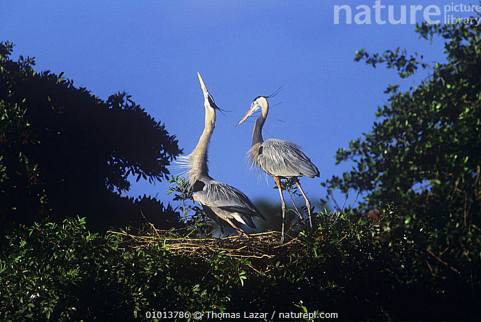 Great blue heron {Ardea herodias} pair displaying at nest in trees, Florida, USA  ,  BEHAVIOUR,BIRDS,COURTSHIP,DISPLAY,HERONS,MALE FEMALE PAIR,MATING BEHAVIOUR,NESTS,USA,VERTEBRATES,VOCALISATION,Communication,Reproduction,North America  ,  Thomas Lazar