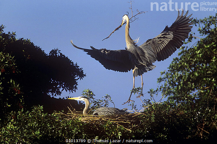 Great blue heron (Ardea herodias) arriving at nest with nest material, Florida, USA  ,  BIRDS,DISPLAY,FAMILIES,FLYING,HERONS,LANDING,MALE FEMALE PAIR,nesting behaviour,NESTS,PARENTAL BEHAVIOUR,USA,VERTEBRATES,Communication,Reproduction,North America  ,  Thomas Lazar
