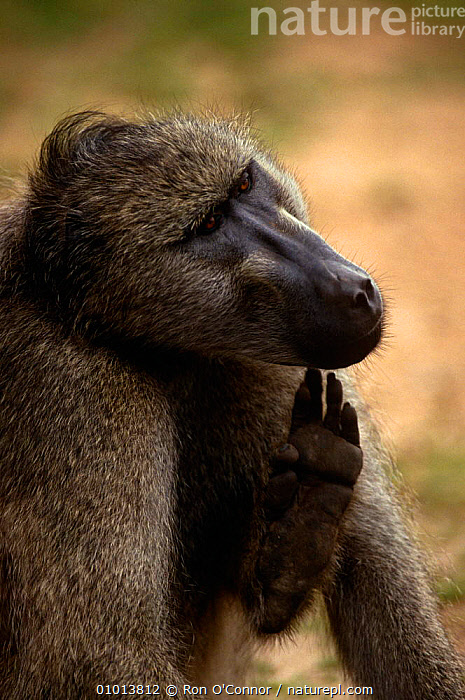 Chacma baboon (Papio ursinus) scratching chin, Kruger NP, South Africa  ,  BABOONS,BEHAVIOUR,GROOMING,MAMMALS,MONKEYS,PORTRAITS,PRIMATES,SOUTHERN AFRICA,VELDT,VERTEBRATES,VERTICAL,Grassland  ,  Ron O'Connor