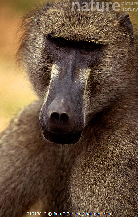Chacma baboon (Papio ursinus) portrait, Kruger NP, South Africa  ,  BABOONS,MAMMALS,MONKEYS,PORTRAITS,PRIMATES,RESERVE,SOUTHERN AFRICA,VERTEBRATES,VERTICAL  ,  Ron O'Connor