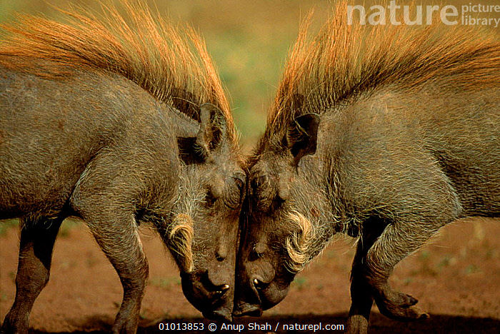 Warthogs 'head to head'. Kenya, Masai Mara  ,  MARA,FIGHTING,KENYA,AS,MASAI,DRAMATIC,EAST AFRICA,AGGRESSION,MAMMALS,PORTRAITS,RESERVE,HEADS,MALES,OUTSTANDING,AFRICA,HORIZONTAL,TO,HUMOROUS,CONCEPTS,Catalogue1  ,  Anup Shah