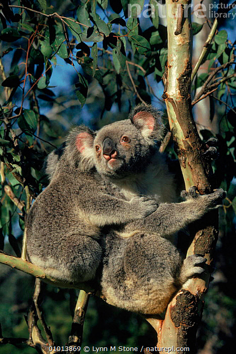 Koala bear (Phascolarctos cinereus) in eucalyptus tree. Queensland, Australia. Captive.  ,  QUEENSLAND,TWO,FAMILIES,EUCALYPTUS,AUSTRALIA,TREE,AFFECTIONATE,PARENTAL,VERTICAL,MAMMALS,PROTECTION,CAPTIVE,CONCEPTS  ,  Lynn M Stone