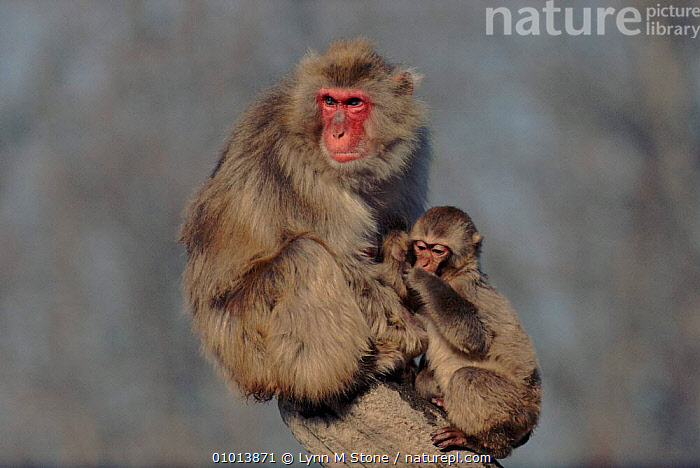 Japanese macaque adult and juvenile  ,  MAMMALS,PRIMATES,CAPTIVE,LS,JUVENILE,HORIZONTAL,MONKEYS  ,  Lynn M Stone