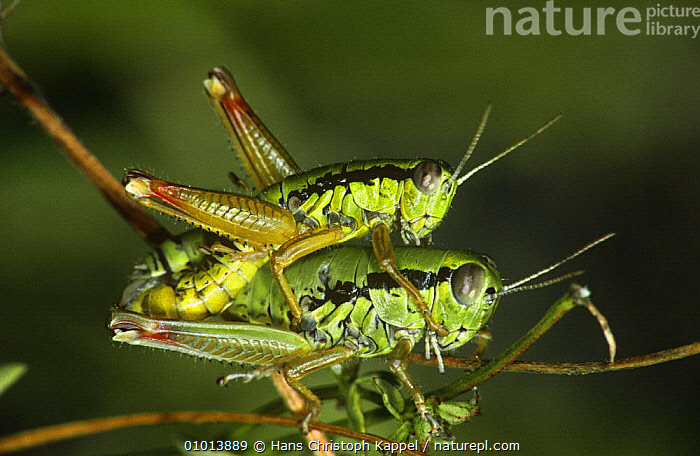 Green Mountain grasshoppers mating (Miramella alpina) former Yugoslavia  ,  COPULATION,FEMALES,GRASSHOPPERS,GREEN,INSECTS,INVERTEBRATES,MALE FEMALE PAIR,MALES,MATING BEHAVIOUR,ORTHOPTERA,PAIR,REPRODUCTION,SHORT HORNED GRASSHOPPERS,TWO  ,  Hans Christoph Kappel