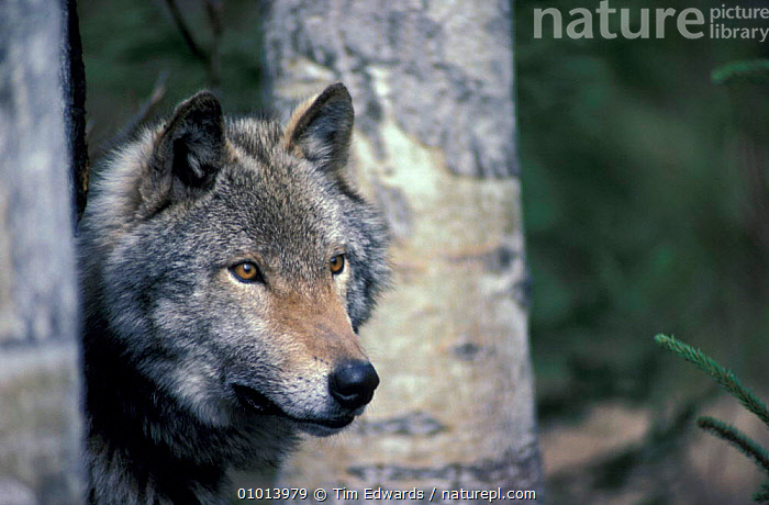 Grey (timber) wolf among aspen trees. (Canis lupus) C  ,  WOLVES,TIMBER,TREES,PORTRAITS,MAMMALS,FACES,PLANTS,DOGS,CANIDS  ,  Tim Edwards
