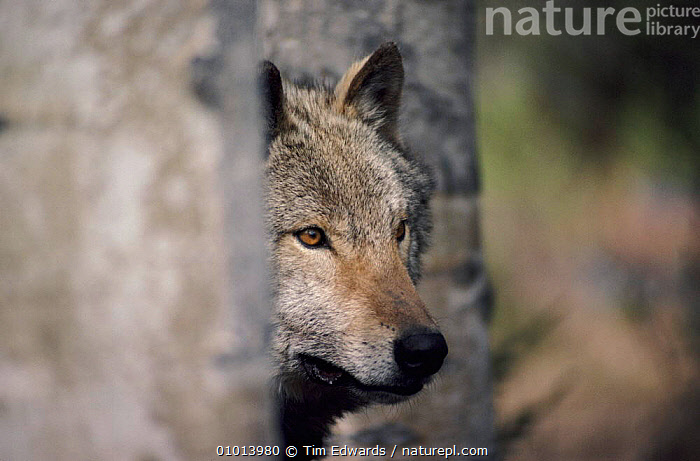 Grey wolf among aspen trees. USA  ,  CAPTIVE,MAMMALS,USA,ASPEN,VERTICAL,HORIZONTAL,FACES,TE,TREES,PORTRAITS,NORTH AMERICA,PLANTS,DOGS,CANIDS  ,  Tim Edwards